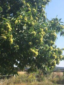 Keschdebaum